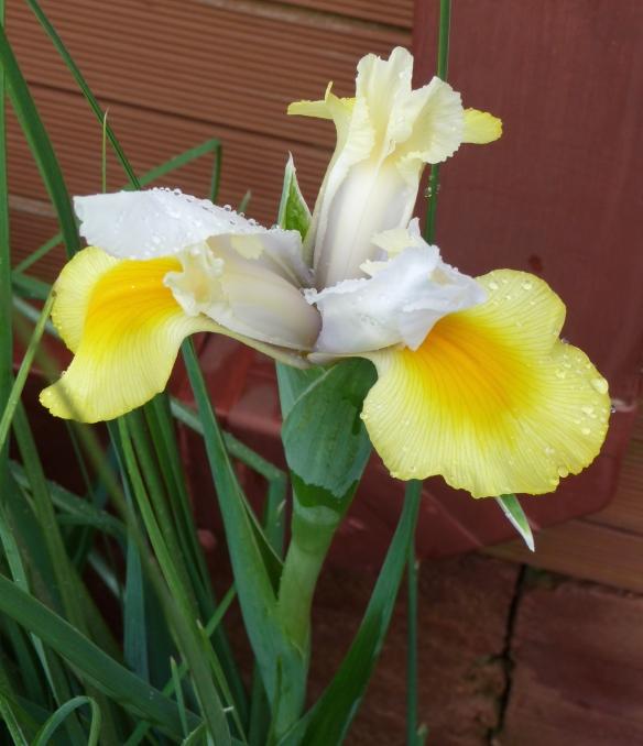 14.florentine iris