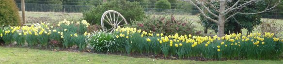 2.daffodils