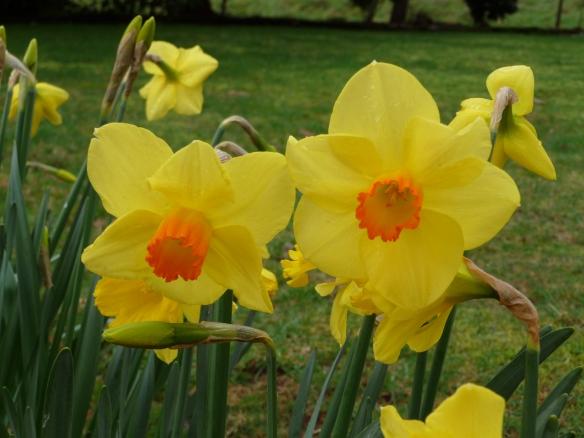 3.daffodils