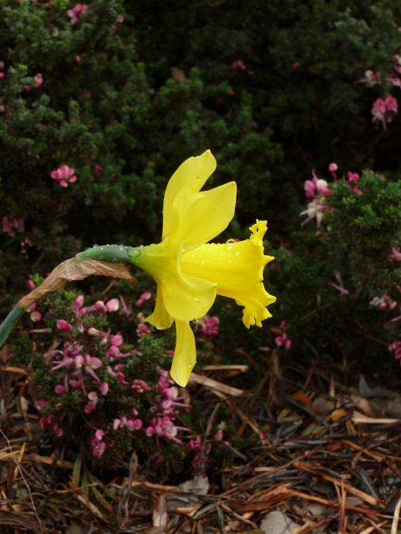 4.daffodil
