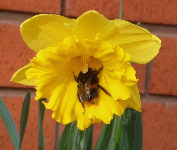 6.daffodil & bumble