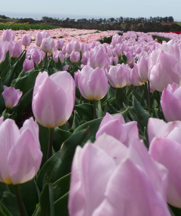 5.row lilac