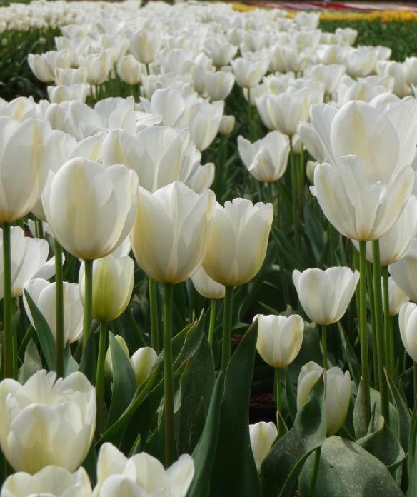 7.row white