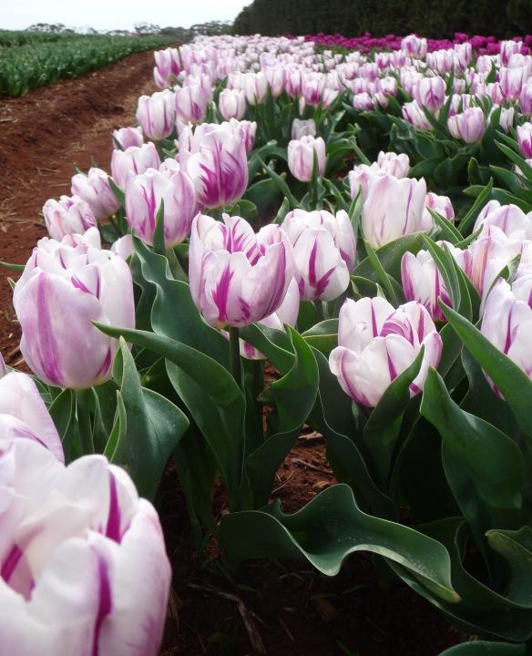 9.row white:purple