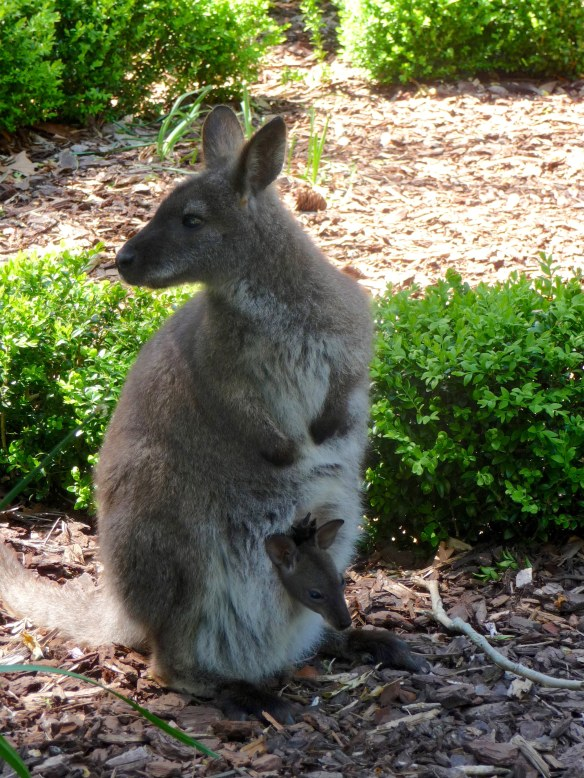 wallaby2
