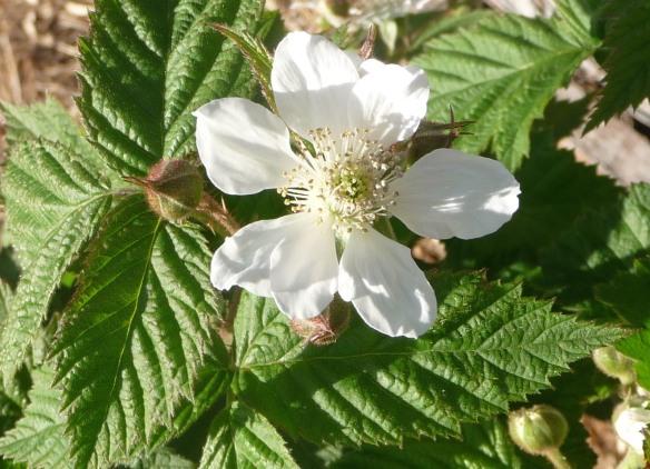 24.sylvanberry blossom