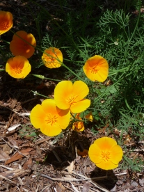 3.California poppy1