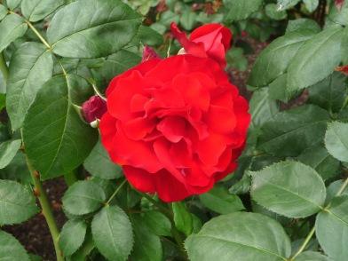3.roses