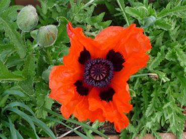 4.oriental poppy1