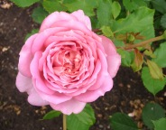 4.roses