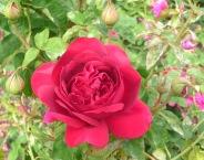 5.roses