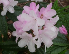 7.light pink rhododendron