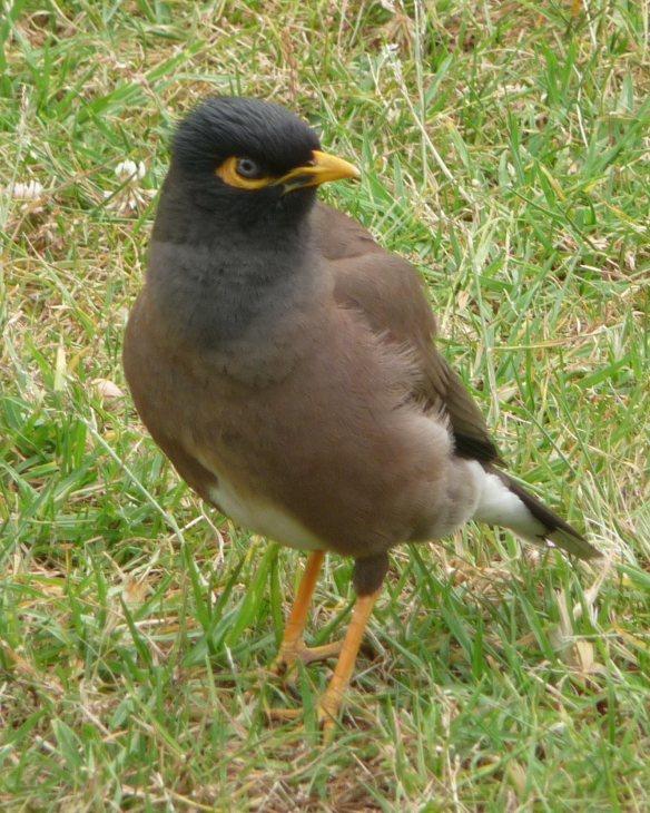 8.mynah bird