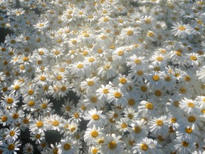 3.pyrethrum