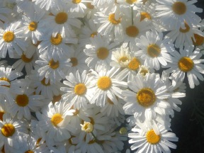 4.pyrethrum