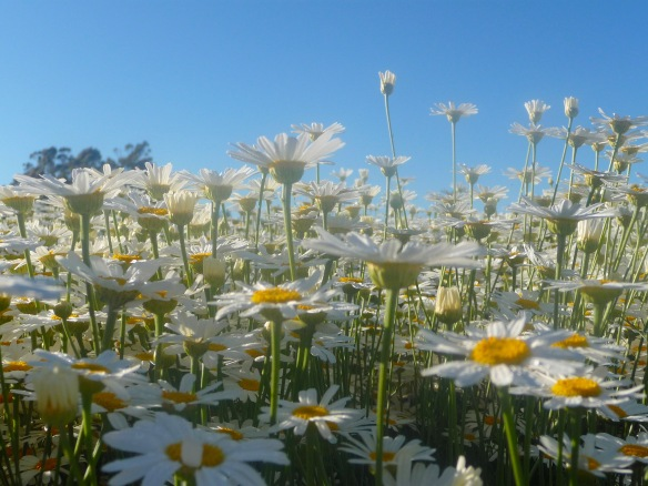 5.pyrethrum