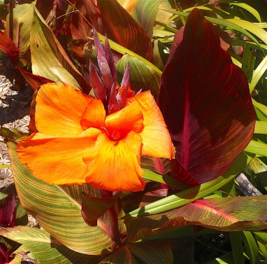 10.canna lily4