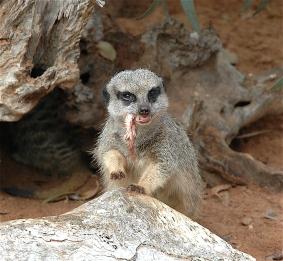 10.meerkats5