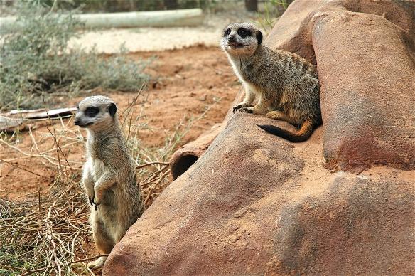11.meerkats6