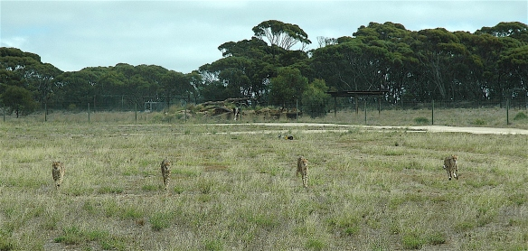 12.cheetah1