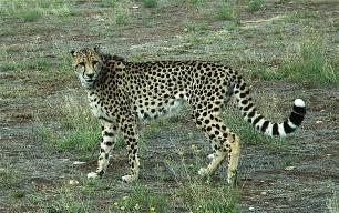 13.cheetah2