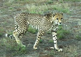 14.cheetah3