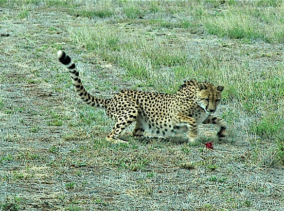 15.cheetah4