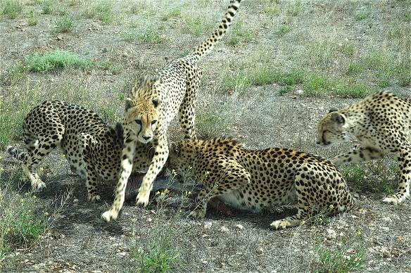 16.cheetah5