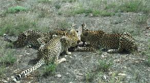 17.cheetah6