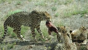 18.cheetah7