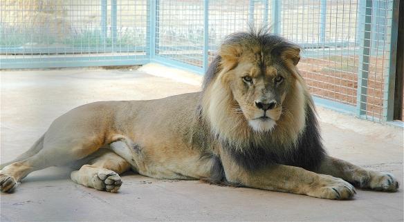 19.lion1
