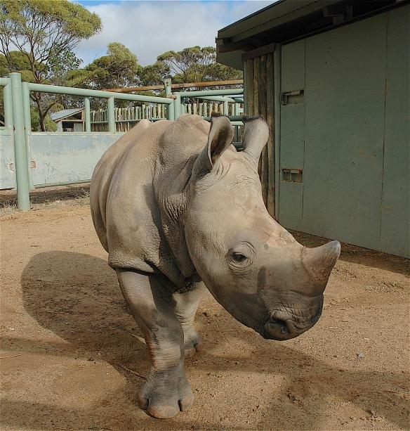 2.rhino baby