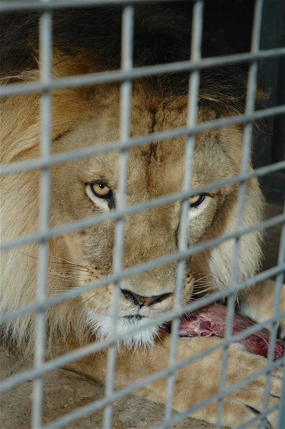 20.lion2