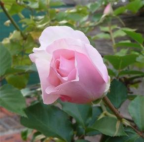 20.rose3