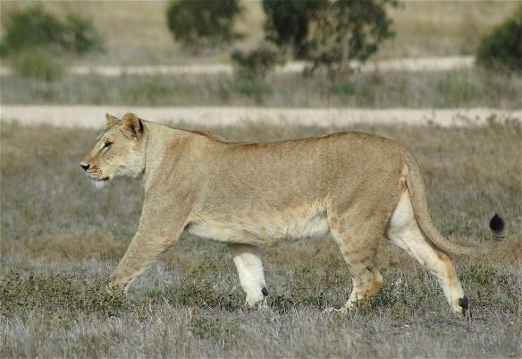 21.lioness1