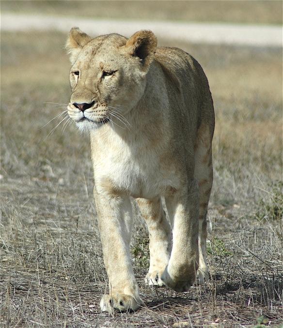22.lioness2