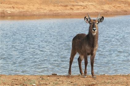 23.antelope1