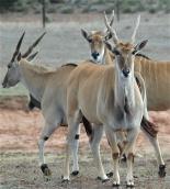 24.diff antelope1