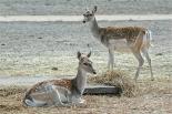 26.deer1