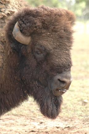 28.bison2