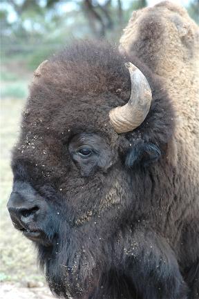 29.bison3