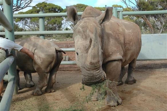 3.rhino1