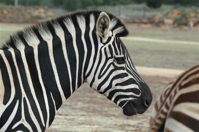 31.zebra1