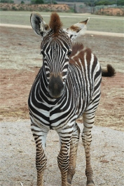 32.zebra2