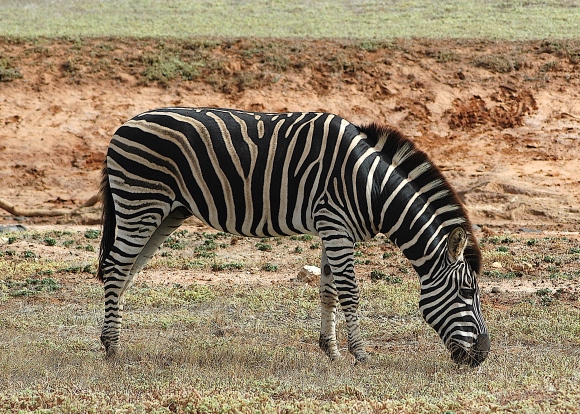 33.zebra3