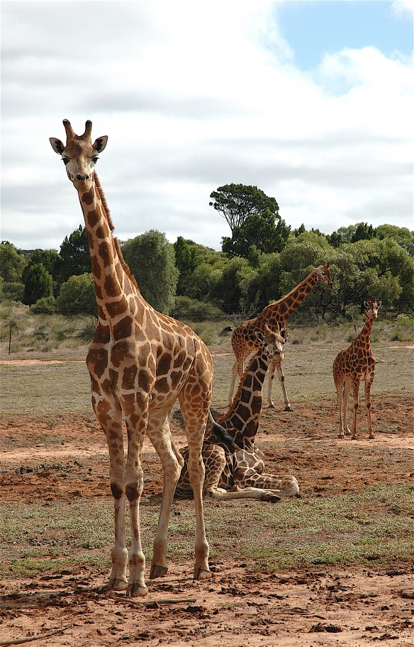 37.giraffe1