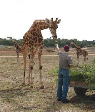39.giraffe3