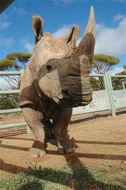 4.rhino2