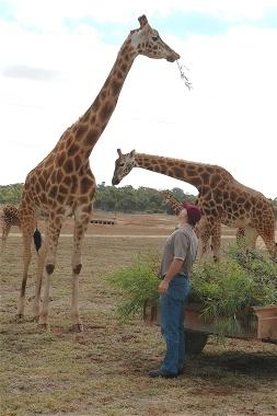 40.giraffe4