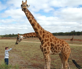 41.giraffe6